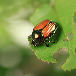 Kick Gas Lawn Care provides environmentally friendly lawn care and grub and Japanese beetle control services throughout Mississauga and the Greater Toronto Area.